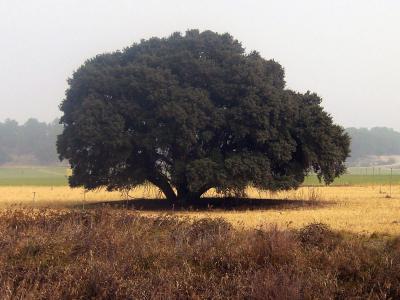La encina,el arbol sagrado de los celtas